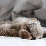 熟睡のトイプー